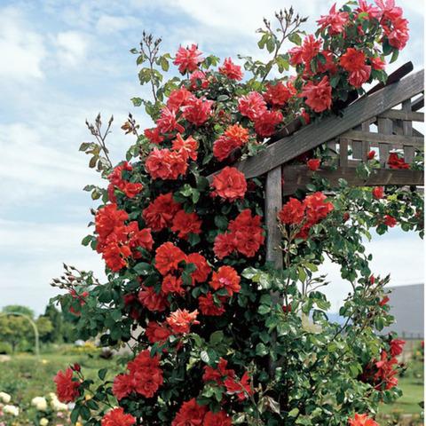 Trandafiri parfumatii,pomisor,urcatori-10+5 gratis