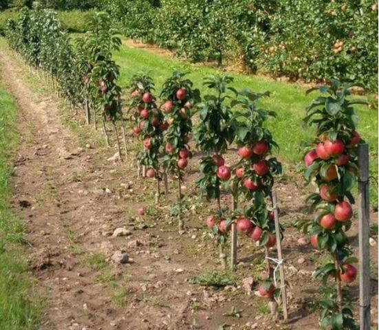 Pomi columnari pitici,caisi,nectarin-10+5 gratis