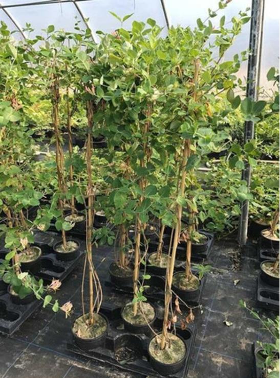 Lonicera japonica -caprifoi-gard viu-10+5 gratis